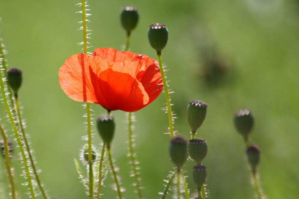 Poppy with poppy heads in profile