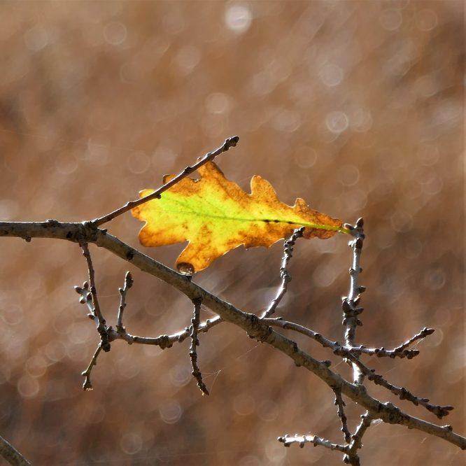 Oak leaf, Strensall